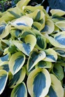/Images/johnsonnursery/product-images/Hosta Autumn Frost_wba8tpn07.jpg