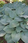 /Images/johnsonnursery/product-images/Hosta Big Mama_2b8q6k4dq.jpg