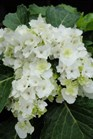 /Images/johnsonnursery/product-images/Hydrangea Double Delights Wedding Gown2072313_kedti24qt.jpg