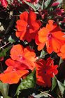 /Images/johnsonnursery/product-images/Impatien Sunpatien Compact Orange2061213_a26v3atwh.jpg