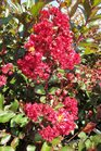 /Images/johnsonnursery/product-images/Lagerstroemia Red Rooster2082713_x6k7gxoaj.jpg