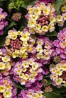 /Images/johnsonnursery/product-images/Lantana Luscious Pinkberry Blend_ewef4zrq2.jpg