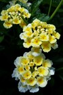 /Images/johnsonnursery/product-images/Lantana Sunny Side Up2040816_tmlewp15o.jpg