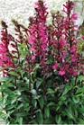 /Images/johnsonnursery/product-images/Lobelia Starship Deep Rose_itr1thlar.jpg