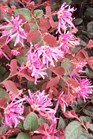 /Images/johnsonnursery/product-images/Loropetalum Ruby030101_w4bc3vwmn.jpg