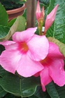 /Images/johnsonnursery/product-images/Mandevilla Alice Du Pont052405_zjcx58xs0.jpg