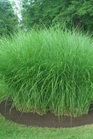 /Images/johnsonnursery/product-images/Miscanthus Gracilimus2_nxwgxwmsn.jpg