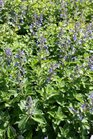 /Images/johnsonnursery/product-images/Nepeta Junior Walker3041316_sbd9ap6f4.jpg