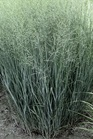/Images/johnsonnursery/product-images/Panicum Heavy Metal_t6rz3tct4.jpg