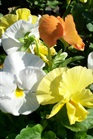 /Images/johnsonnursery/product-images/Pansy Delta Citris Mix103107_9hp721sxu.jpg