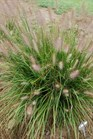 /Images/johnsonnursery/product-images/Pennisetum Hush Puppy_pxmndk56u.jpg