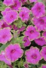 /Images/johnsonnursery/product-images/Petunia Picasso in Pink061312_1cnko89hf.jpg