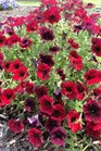 /Images/johnsonnursery/product-images/Petunia Supertunia Black Cherry062314_6bbhvtb9u.jpg