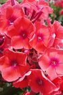 /Images/johnsonnursery/product-images/Phlox Tequila Sunrise3062413_jefb7ks8u.jpg