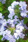 /Images/johnsonnursery/product-images/Plumbago_auriculata_do3qjt1xf.jpg