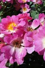 /Images/johnsonnursery/product-images/Rosa Pink Drift2072313_dg0j0r0kz.jpg