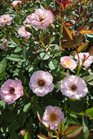 /Images/johnsonnursery/product-images/Rosa Sunrosa Pink2070813_bsf9u9h4g.jpg