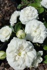 /Images/johnsonnursery/product-images/Rosa White Drift2072313_p0hldrz09.jpg