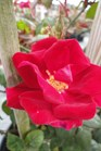 /Images/johnsonnursery/product-images/Rosa Winner Circle2050713_v3k0gjooa.jpg