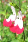 /Images/johnsonnursery/product-images/Salvia Hot Lips2060507_u8mc6rd1h.jpg