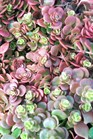 /Images/johnsonnursery/product-images/Sedum Coral Reef021606_p6v4ebsx8.jpg