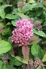 /Images/johnsonnursery/product-images/Spiraea Superstar2050216_78i4htell.jpg