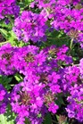 /Images/johnsonnursery/product-images/Verbena Homestead Purple042401_lslnxq7gq.jpg