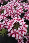/Images/johnsonnursery/product-images/Verbena Lanai Candy Cane050113_ace5370tg.jpg