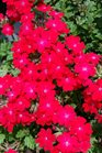 /Images/johnsonnursery/product-images/Verbena Superbena Royale Iced Cherry061416_4ma3zzw91.jpg