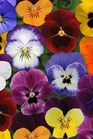 /Images/johnsonnursery/product-images/Viola Sorbet XP Autumn Select Mix_oj5mkt269.jpg