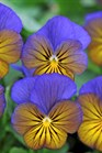 /Images/johnsonnursery/product-images/Viola Sorbet XP Morpho_i1bofgczo.jpg