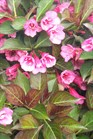 /Images/johnsonnursery/product-images/Weigela Wine and Roses041502_jdiguowv4.jpg