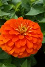 /Images/johnsonnursery/product-images/Zinnia Magellan Orange050216_ftoj5m9a5.jpg