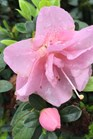 /Images/johnsonnursery/product-images/rhododendron_perfecto_mundo_double_pink_2_x7pota3x6.jpg